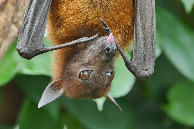 В Индии улетучих мышей обнаружили смертельный вирус нипах
