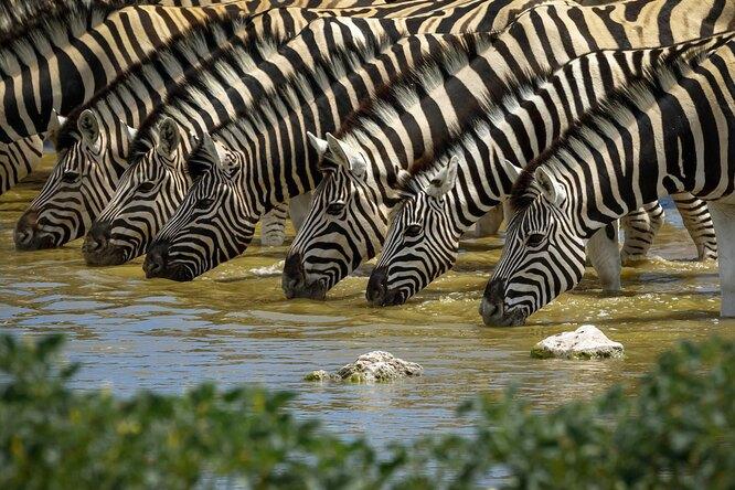 Зачем зебрам нужны полоски: маскировка ни причем