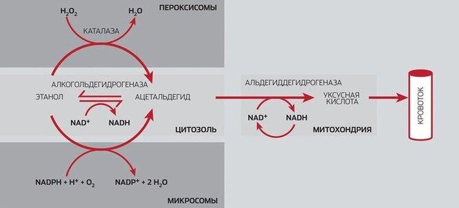 Путь этанола в организме