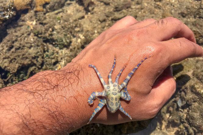 Тиктокерша сняла ролик смилым осьминогом — оказалось, что он чрезвычайно ядовит