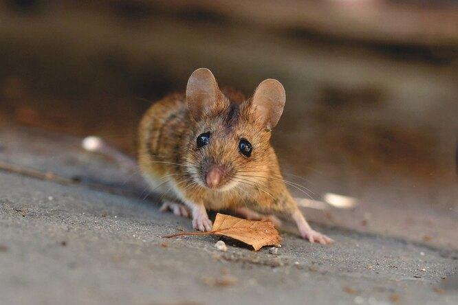 Доказано, что мыши умеют сортировать информацию