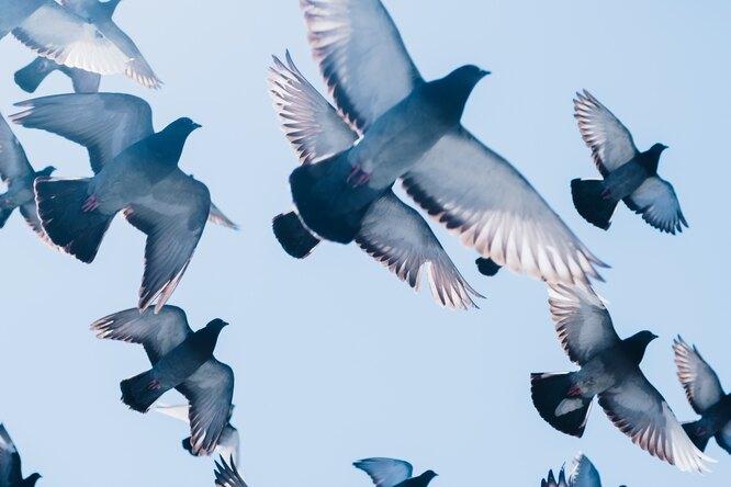 Во время голубиной гонки вВеликобритании пропали 10 тысяч птиц