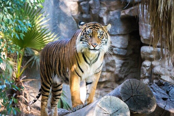 Арестован браконьер, закоторым охотились 20 лет. Его жертвы — 70 бенгальских тигров