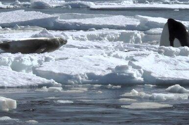 Как косатки ломают лед, смывая тюленей прямо вводу: видео
