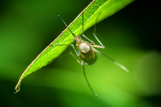 Чего боятся комары: необычный способ избавиться отнадоедливых насекомых