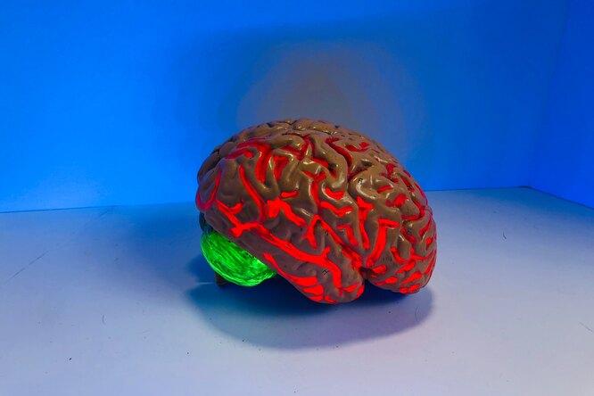 Оказалось, что мозг похож наяички больше, чем налюбой другой орган человека