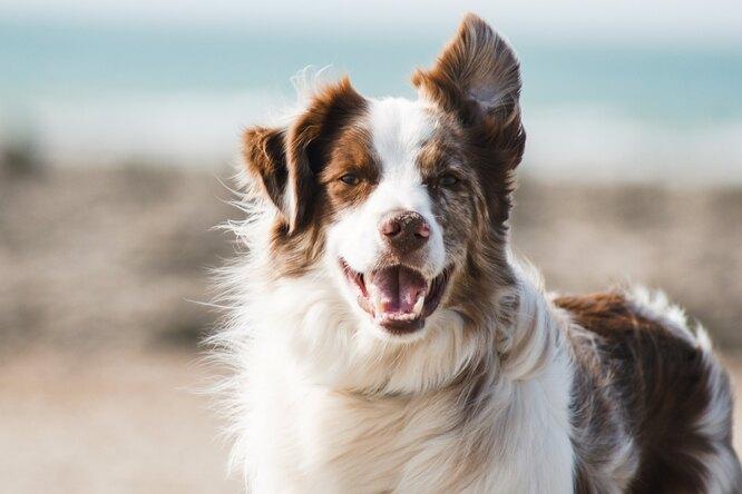 Новый способ рассчитать возраст собаки почеловеческим меркам