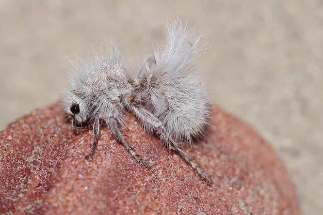 Белый ипушистый: пустынный бархатный муравей
