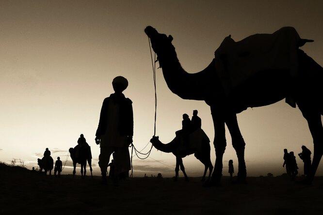 Верблюдов вЭмиратах начали специально заражать коронавирусом