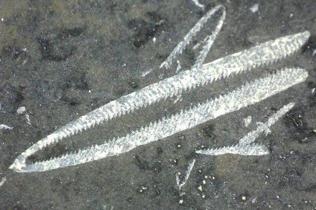 <br />Граптолиты. Эти морские суперорганизмы состояли из колоний многочисленных микроскопических существ, подобно современным кораллам. Ордовик стал их золотым временем, позволив развиться в сотни новых форм, включая плавающие около поверхности океана с помощью воздушных мешков. Вымерли граптолиты в позднем каменноугольном периоде, вместе с незаслуженно забытыми хомалозоями.<br />&nbsp;
