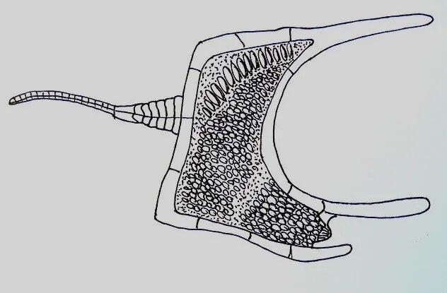 <br />Хомалозои. Эти иглокожие со странными телами до сих пор остаются одними из самых малоизученных представителей своего типа. Известны два основных отряда хомалозоев. Корнутаны, формой напоминающие ботинок, появились в середине кембрия. В раннем ордовике к ним присоединились плоские симметричные анкиориды, пережив своих предшественников. Они вымерли лишь в позднем каменноугольном периоде.<br />&nbsp;