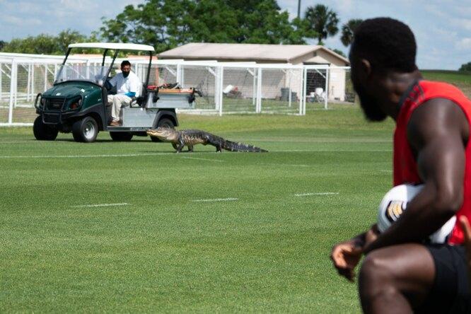Во время тренировки «Торонто» нафутбольное поле выбежал аллигатор