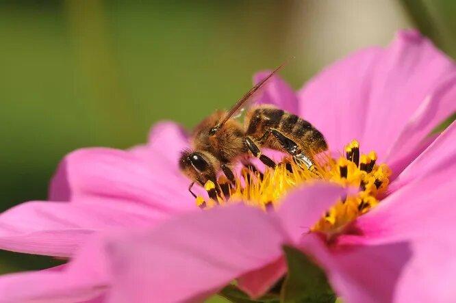 Магнитное поле Земли может быть прекрасным ориентиром – опять-таки, для пчёл, ряда других насекомых а также перелётных птиц. Умея его находить, практически невозможно заблудиться даже за многие километры от улья.