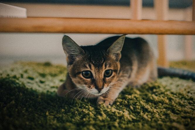 Почему кошки иногда носятся подому согромной скоростью?