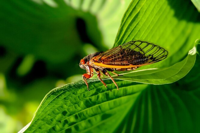 Ученые: цикады подпсиходеликами устраивают оргии дотех пор, пока неотвалятся гениталии
