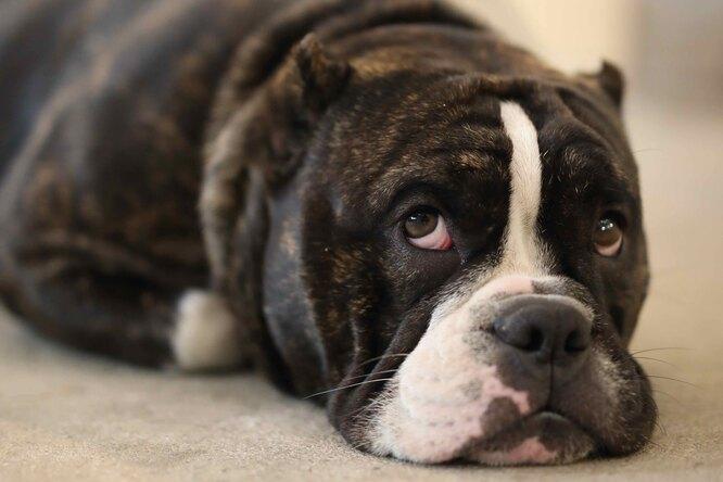 Оказалось, что стресс хозяев «заразен» дляих собак