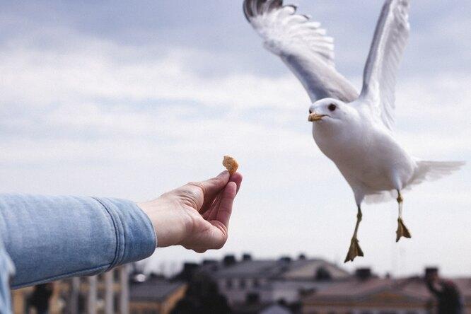 Британец два месяца подкармливает дикую чайку, чтобы подружиться сней
