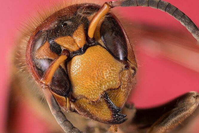 Пчелы научились распознавать коронавирус позапаху