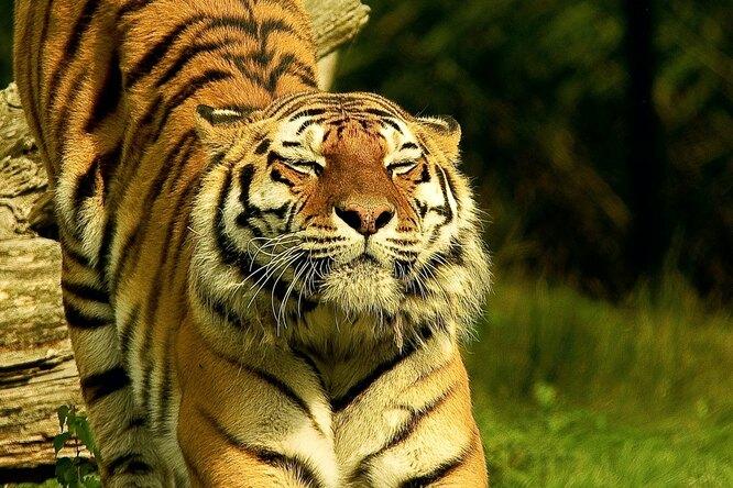 Видео: вПриморье тигр загнал грибников надерево