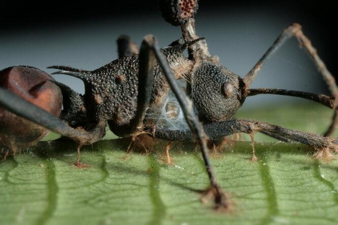 Почему зомбирующий паразит оказался еще опаснее, чем считали ученые