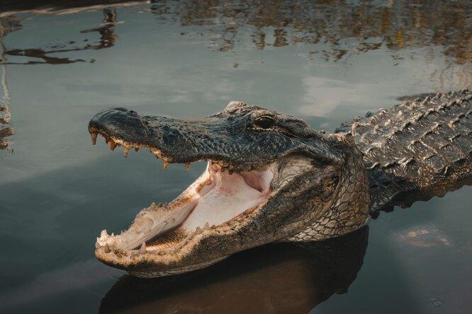 Аллигатор напал надрон исъел его — квадрокоптер взорвался впасти урептилии