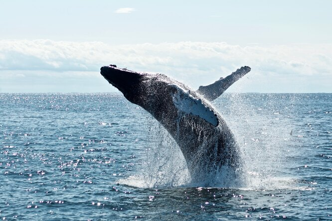 Дайвер сумел выжить, побывав впасти кита — тот его выплюнул