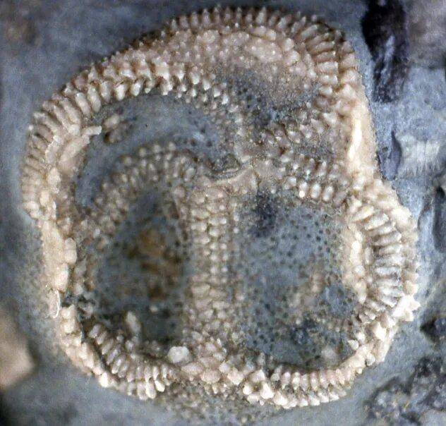 <br />Эдриоастероиды. Очередные иглокожие с невероятно древней историей. Претендуют на причисление к себе самого первого иглокожего в мире &ndash; Arkarua adami, жившего 600 миллионов лет назад. Ордовик позволил им развиться, как и многим другим видам, но массовое пермское вымирание 252 миллиона лет назад покончило с эдриоастероидами, как и с 90% прочей жизни в океанах.<br />&nbsp;
