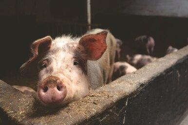Человеку впервые пересадили почку свиньи — это достижение вобласти трансплантологии