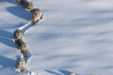 «Как мощны мои лапищи»: мы годами неправильно читаем этот снимок волков
