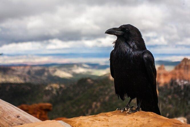 Почему нестоит дразнить ворон: птицы могут запомнить иотомстить