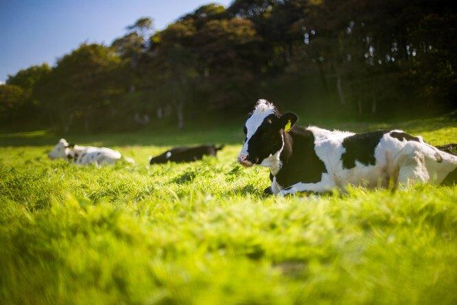Одомашнивание значительно уменьшило размер мозга укрупного рогатого скота, говорят ученые