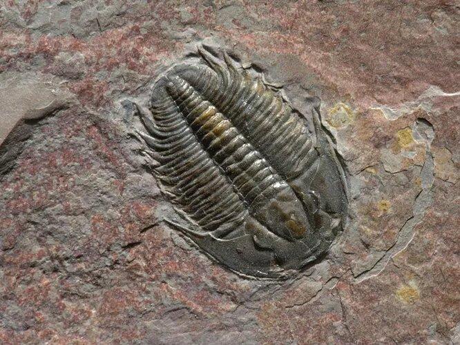 <br />Трилобиты. Одни из самых известных доисторических членистоногих, которых также не пощадило массовое пермское вымирание. Науке известно около 20 тысяч видов трилобитов, что многим другим отрядам только снилось. Первые трилобиты возникли 521 миллион лет назад, просуществовав на планете около 300 миллионов лет.<br />&nbsp;