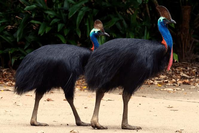 Почему казуаров считают одними изсамых опасных птиц наЗемле